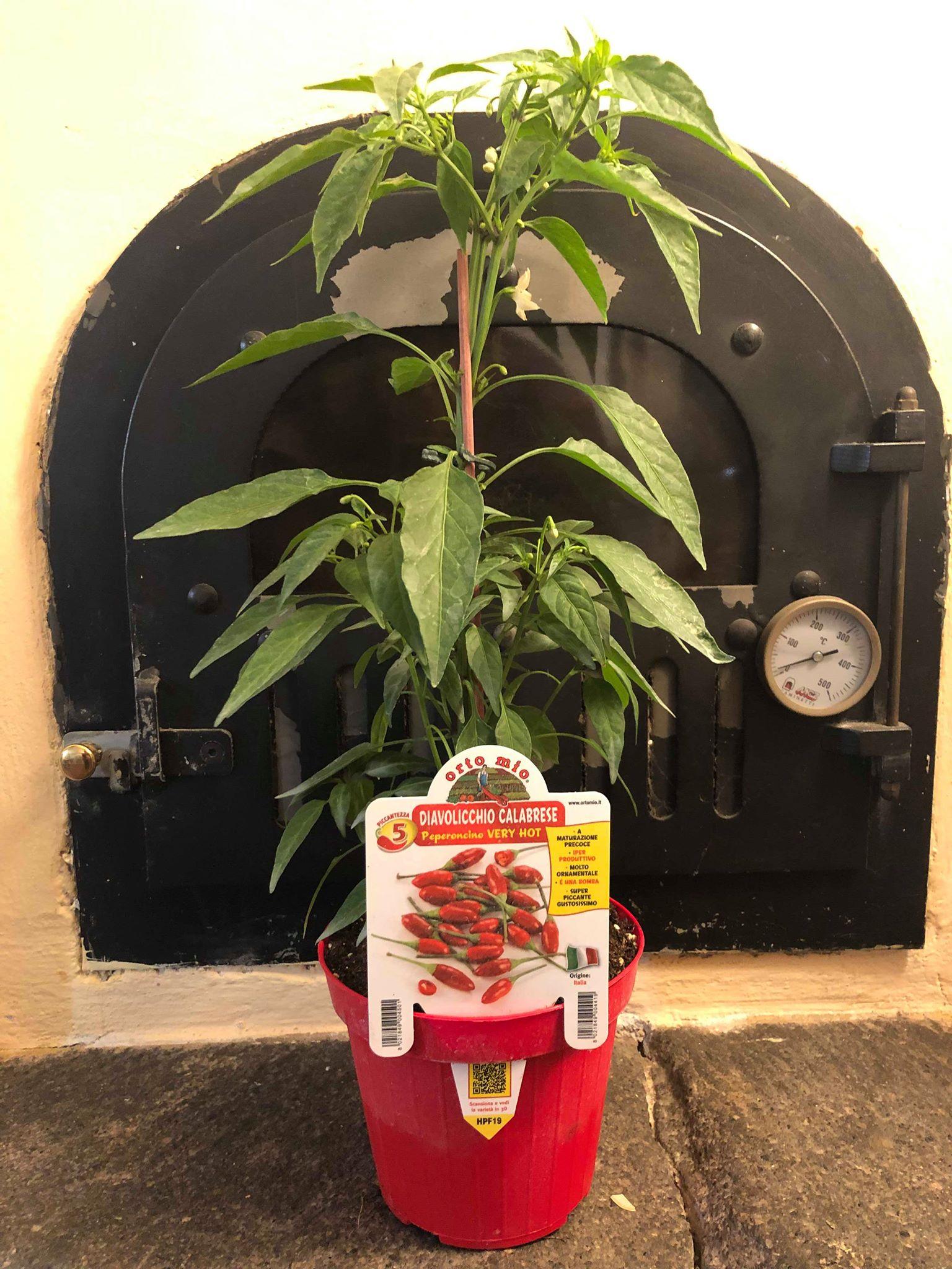Hot Pepper Calabrese VERY HOT diavolicchio Italico Pot Plant - Orto mio